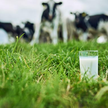 Glass of milk in a paddock with blurred cows in the background